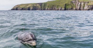 Eltűnt Fungie, a világ legidősebb egyedül élő delfinje