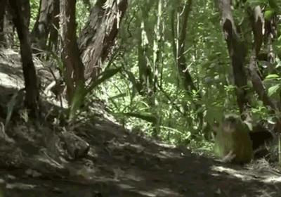 Végül a kakapó, a világ legkövérebb papagája lett az év madara Új-Zélandon