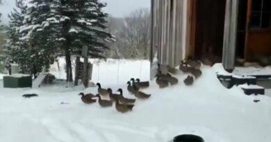 Szenzációs videón reagálnak a kacsák az első hóra