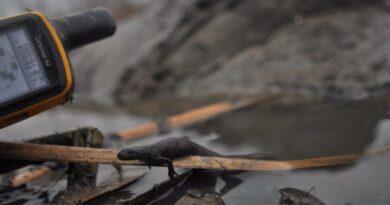 Sorra pusztulnak el az állatok Tokajban, mert telelési időszakban kezdték meg az Ively-ér kotrását