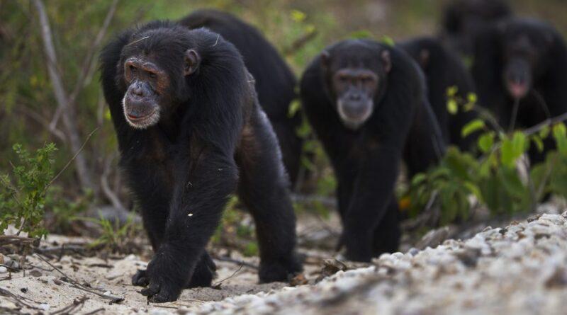 Csimpánzbanda ölt meg két gorillakölyköt