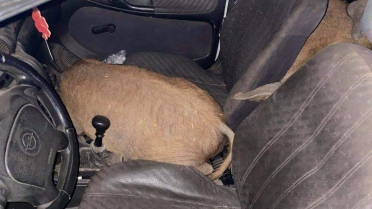 Meglepte a rendőröket is, hogy a megállított kocsiban a sofőrön és két utasán kívül négy mangalica utazott
